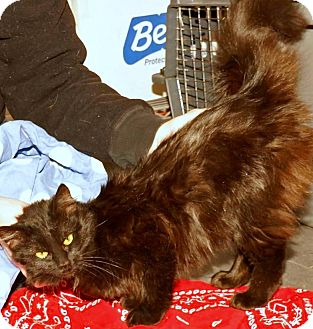 Maine Coon Kitten for adoption in Chattanooga, Tennessee - Grace