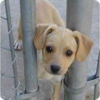 Adopt A Pet :: Lelani - Fowler, CA