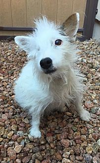 Jack Russell Terrier Dog for adoption in Phoenix, Arizona - Penny