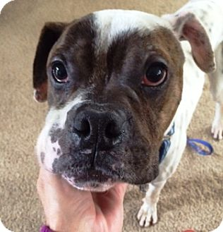 Boxer Dog for adoption in Turnersville, New Jersey - Joey-Adopted!