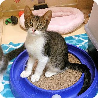 Domestic Shorthair Cat for adoption in Weatherford, Texas - Fergus