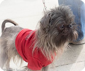 Affenpinscher Mix Dog for adoption in Loudonville, New York - Slater