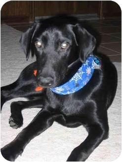 Labrador Retriever Puppy for adoption in Houston, Texas - Dakota