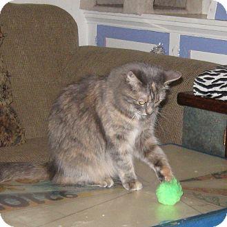 Domestic Mediumhair Cat for adoption in San Diego, California - MIMI