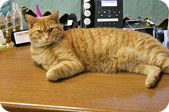 Domestic Shorthair Cat for adoption in Medina, Ohio - Oliver