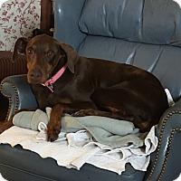 Adopt A Pet :: Cinnamon--pending - New Richmond, OH
