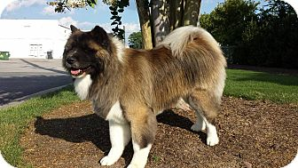 Akita Dog for adoption in Virginia Beach, Virginia - Keenu