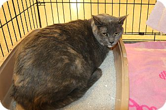 Domestic Shorthair Cat for adoption in Rochester, Minnesota - Emma