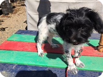 Maltese/Spaniel (Unknown Type) Mix Puppy for adoption in Elk Grove, California - REID