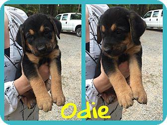 Australian Cattle Dog/Hound (Unknown Type) Mix Puppy for adoption in Brunswick, Maine - Odie