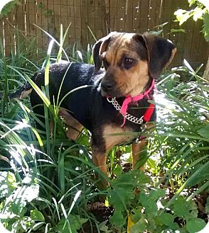 Beagle/Hound (Unknown Type) Mix Puppy for adoption in Media, Pennsylvania - Jewel