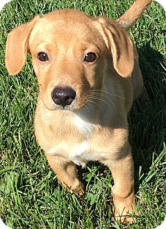 Dachshund/Beagle Mix Puppy for adoption in Pennigton, New Jersey - Tango