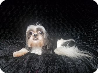 Shih Tzu Mix Dog for adoption in Urbana, Ohio - Peggy Turner