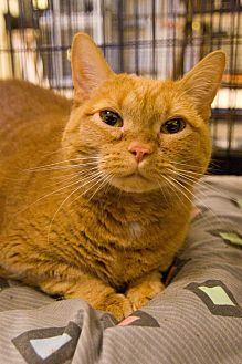 Domestic Shorthair Cat for adoption in Grayslake, Illinois - Pumpkin Pie