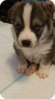 Australian Shepherd/Labrador Retriever Mix Puppy for adoption in Richmond, Virginia - GABRIELLE