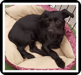 Terrier (Unknown Type, Small) Mix Puppy for adoption in Winchester, California - LOUIE
