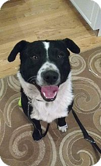 Border Collie/American Staffordshire Terrier Mix Dog for adoption in Regina, Saskatchewan - Snoop - Applications Closed