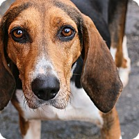 Treeing Walker Coonhound Dog for adoption in Cincinnati, Ohio - Matilda