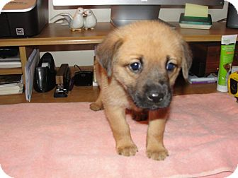 Labrador Retriever Mix Puppy for adoption in Bowie, Maryland - Betty