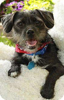 Terrier (Unknown Type, Small)/Shih Tzu Mix Dog for adoption in Omaha, Nebraska - Eli