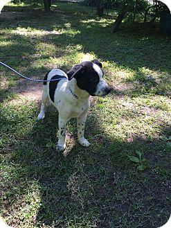 Labrador Retriever/Border Collie Mix Puppy for adoption in Glastonbury, Connecticut - Mack