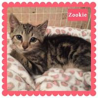 Adopt A Pet :: Zookie - Bradenton, FL