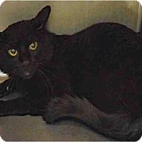 Domestic Mediumhair Cat for adoption in Ogden, Utah - IVAN
