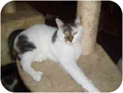 Domestic Shorthair Cat for adoption in Hamburg, New York - Trinity
