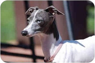 Italian Greyhound Dog for adoption in Argyle, Texas - Lacey in Sugarland
