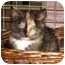 Photo 1 - Domestic Shorthair Kitten for adoption in Colmar, Pennsylvania - Dazzle