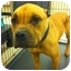 Photo 1 - American Pit Bull Terrier/Boxer Mix Dog for adoption in Blanchard, Oklahoma - Mara