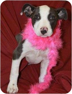 American Pit Bull Terrier Mix Puppy for adoption in San Clemente, California - NALA