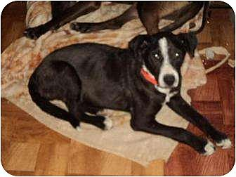 Terrier (Unknown Type, Medium) Mix Dog for adoption in Crescent, Oklahoma - Nipper