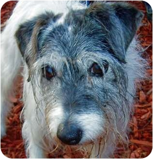 Jack Russell Terrier Dog for adoption in Olive Branch, Mississippi - Molly Hopes for a Home!