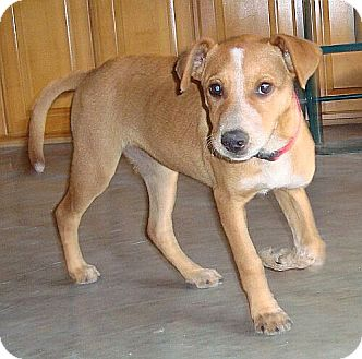 Labrador Retriever/Terrier (Unknown Type, Small) Mix Puppy for adoption in Spring Valley, New York - Ruby (Urgent) (Reduced)