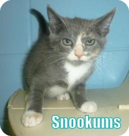 Domestic Shorthair Kitten for adoption in Georgetown, South Carolina - snookums