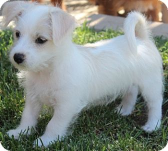 Jack Russell Terrier Mix Puppy for adoption in La Habra Heights, California - Theo