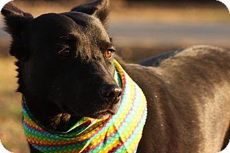 German Shepherd Dog/Labrador Retriever Mix Dog for adoption in Glastonbury, Connecticut - Bailey