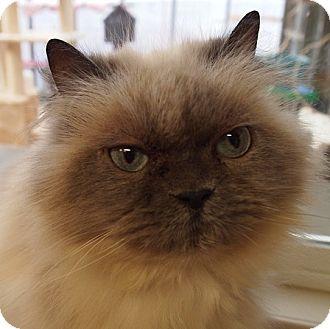 Himalayan Cat for adoption in Maple Ridge, British Columbia - Carole