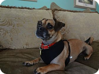 Pug Mix Dog for adoption in Greensboro, Maryland - Patrick