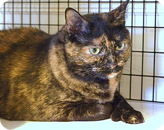 Polydactyl/Hemingway Cat for adoption in Victor, New York - Mits