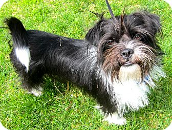 Terrier (Unknown Type, Small)/Shih Tzu Mix Dog for adoption in South Plainfield, New Jersey - Tux