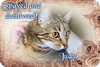 Domestic Shorthair Cat for adoption in muskogee, Oklahoma - judy