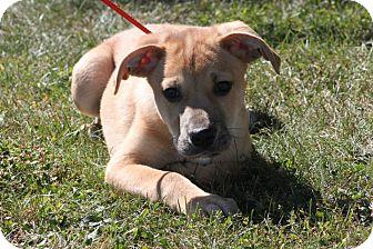 Boxer/Labrador Retriever Mix Puppy for adoption in New Oxford, Pennsylvania - Friday
