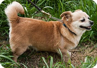 Chihuahua/Welsh Corgi Mix Dog for adoption in San Andreas, California - Lily