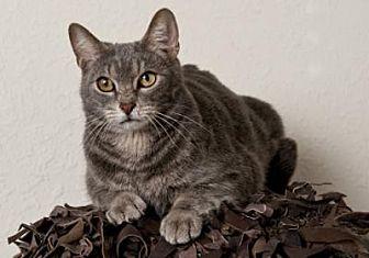 Domestic Shorthair Cat for adoption in Centerton, Arkansas - Reeko