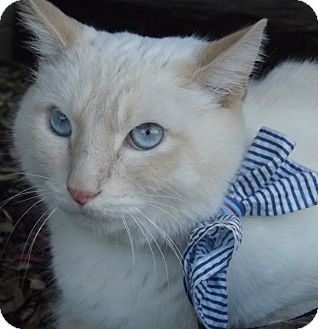 Siamese Cat for adoption in Cannelton, Indiana - Kumo