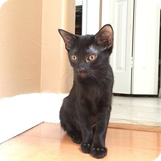 Domestic Shorthair Kitten for adoption in Tampa, Florida - Blanca