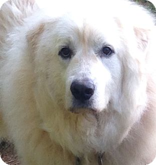 Great Pyrenees Mix Dog for adoption in Hagerstown, Maryland - Bella
