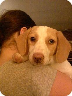 Beagle/Dachshund Mix Puppy for adoption in Milton, New York - Zina